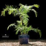 Dypsis Baronni - Sugar Cane Palm